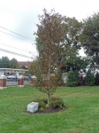 Copper Beech tree and plaque dedicated to the deceased members of Danbury High School Class of 1961